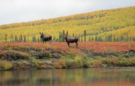 Fall Colors in Alaska Moose