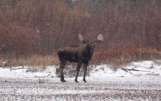 Annual-After-Season-Bull