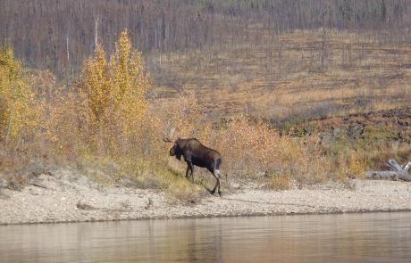 Yukon River Moose Hunt