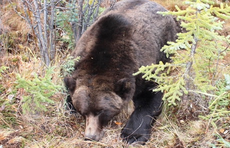 Alaska-Grizzly-Hunting