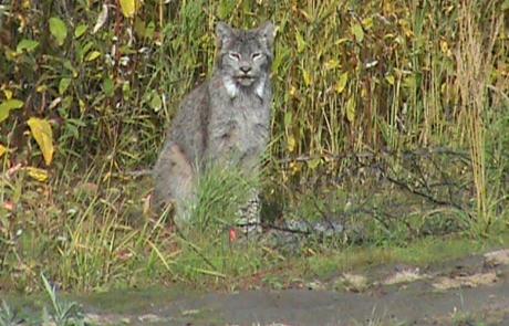 Alaska-Lynx