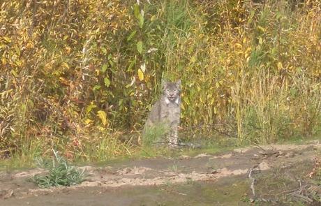 Curious-Alaska-Lynx