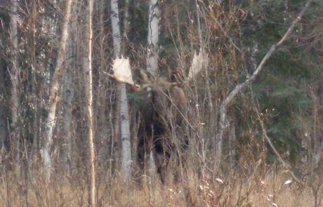 Trophy-Alaska-Moose